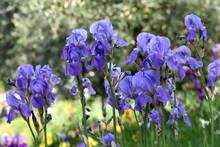 Beautiful Irises In Bloom In A Garden