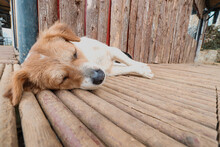 Closeup Of A Stray Dog Sleeping On The Wooden Floor.