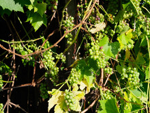 Some Small Grapes In Bunches Ripening On The Vine