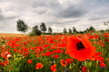 Poppy Field With Beautiful Red Poppies And Flowers In A Summer Meadow