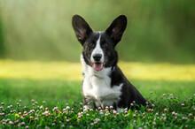 Welsh Corgi Cardigan Lovely Spring Nature Walk Magical Puppy Portrait
