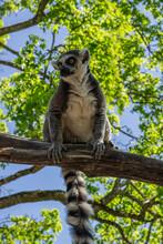 Curious Lemur On The Tree