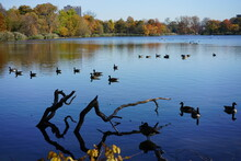 Autumn Leaves And Tree Branches On The Lake With Turtle And Ducks