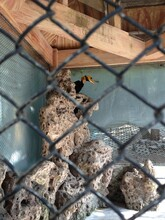Hornbill In The Cage