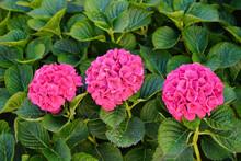 Pink Hydrangea In A Garden
