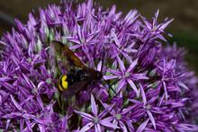 Giant Wasp (Latin: Scolia Hirta) On Purple Flowers Dutch Onion (Latin: Allium Hollandicum), Close Up. Selective Focus.
