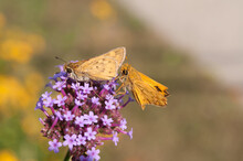 Two Skipper Butterflies Follow One Another On A Purple Flower