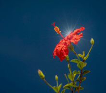 A Single Red Hibiscus Flower Against A Blue Sky And Sun Flare With Negative Space On The Left