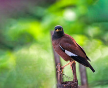 The Common Myna Or Indian Myna Sometimes Spelled Mynah Is A Bird In The Family Sturnidae Native To Asia.