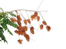 Golden Rain Tree Seeds And Leaf, Pride Of India, China Tree And Varnish Tree, Koelreuteria, (Koelreuteria Paniculata) Isolated Ob White Background