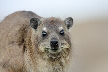 Close Up Of One Cape Dassie (Procavia Capensis Ssp. Capensis) On Rocks Looking Forward, South Africa