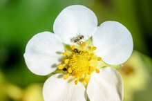 White Petals Of Strawberry Flower With Ants On A Sunny Day.
