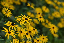 Yellow Rudbeckia Flowers On Bokeh Flowers Background, Black Eyed Susans, Bokeh Empty Space For Text, Floral Coneflowers Background.