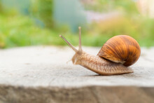 Large Snail Crawling On A Wooden Surface In Nature