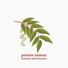 Hand Drawn Illustration Of Green Branch Of Poison Sumac Plant With Leaves And Berries.