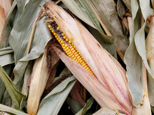 Close Up Of Dried Corn On The Cob In Plant Leaf