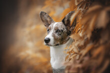 Close-up Portrait Of A Serious Marbled Welsh Corgi Cardigan Puppy With Multi-colored Eyes Among Bright Red And Yellow Grapes. Looking To The Side