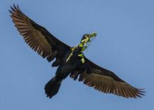 Mekong Cormorant