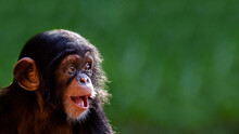 Close Up Portrait Of A Cute Baby Chimpanzee With A Big Happy Smile