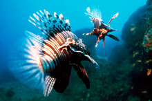 The Red Lionfish (Pterois Volitans) Or Zebrafish Is A Venomous Coral Reef Fish In The Family Scorpaenidae, Order Scorpaeniformes. It Is Mainly Native To The Indo-Pacific Region.