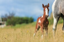 Horse Chils And Mother Horse Her Beautiful Foal On A Field