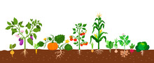 Harvest Of Vegetables Potatoes, Corn, Pumpkins, Tomatoes And Various Vegetables With Roots In The Ground On White Background. Vector Illustration In Flat Style. Farm Growing Of Vegetables Food.