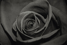 The Rose Is Close. Black And White