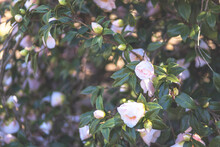 Green Bush Of Pink Camellia In A Garden With Flowers And Buds, Green Leaves And Small Branches. Beautiful Cover With Blurred Background