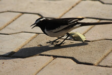 Closeup Shot Of Magpie Bird Perched On The Paved Road Under Sunlight