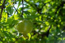 Pomegranate Tree, Punica Granatum, And Their Green Unripe Fruit. Closeup, Blur Bokeh Background..