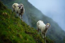 Sheep In Stubai Alps In Austria In A Foggy Morning.