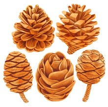 Pine Cone Elements Watercolor Hand Painted Illustration Collections
