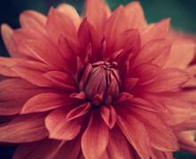 Red Dahlia Flower Close Up