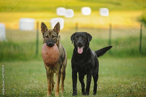 Obraz na plátně German shepherd and Labrador