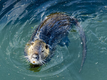 Closeup Of The Coypu, Also Known As The Nutria, Is A Large, Herbivorous, Semiaquatic Rodent.