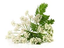 Schafgarbe, Blüten Für Tee Mit Blätter - Freigestellt