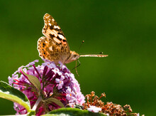 A Painted Lady (Vanessa Cardui) Butterfly With Wings Extended Sits On A Purple Buddleia Butterfly Bush.Head ,antennae And Proboscis Are Visible Close Up.Sunlight  Shines Through Wings