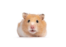 Adult Golden Hamster  Sitting Facing Front. Looking Straight Into Camera. Isolated On A White Background.