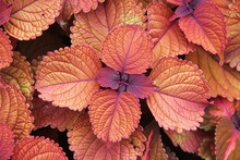 Colorful Leaves Of Seasonal Coleus Or Plectranthusscutellarioides Plant In The Outdoor Garden In Liepaja, Latvia