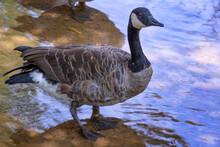 Goose Stands In A Shallow Creek In A Park