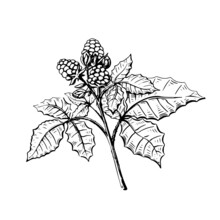 Blackberry Sketch In Hand Drawn Style On Black Background. Sweet Fruits. Vintage Floral Illustration. Isolated Vector Sweet Food.