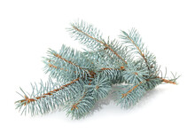 Blue Branches Of Pine.