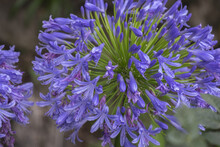 Closeup Shot Of Blooming Agapanthus Also Called Lily Of The Nile Or African Lily