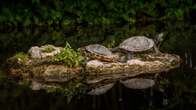 Sunbathing Turtles On A Small Rock Formation On The Top Of A Lake