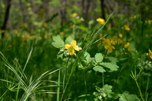 Yellow Flowers Of Celandine Grow On The Meadow In A Green Forest.