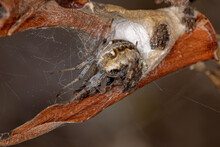 Adult Typical Orbweaver Spider