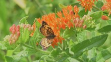 Beautiful Silvery Checkerspot Butterfly Getting Nectar Form An Orange Butterflyweed Flower