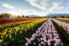 Tulip Plantation In Patagonia Argentina