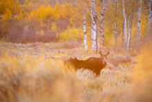 A Cow Moose Standing Below Fall Aspen Trees In Golden Sunrise Light Hitting The Landscape. Grand Teton National Park, Wyoming