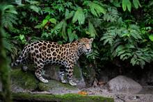 A Wild Jaguar Stands In The Rainforest.  Yasuni National Park, Ecuador.
